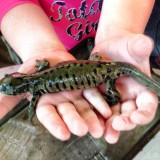 My daughter holding one of the many salamanders. My kids love the Salamander Festival.  Kids can hold salamanders, turtles and more.  Saturday Jan. 31  Time: 3 p.m. to 5:30 p.m.