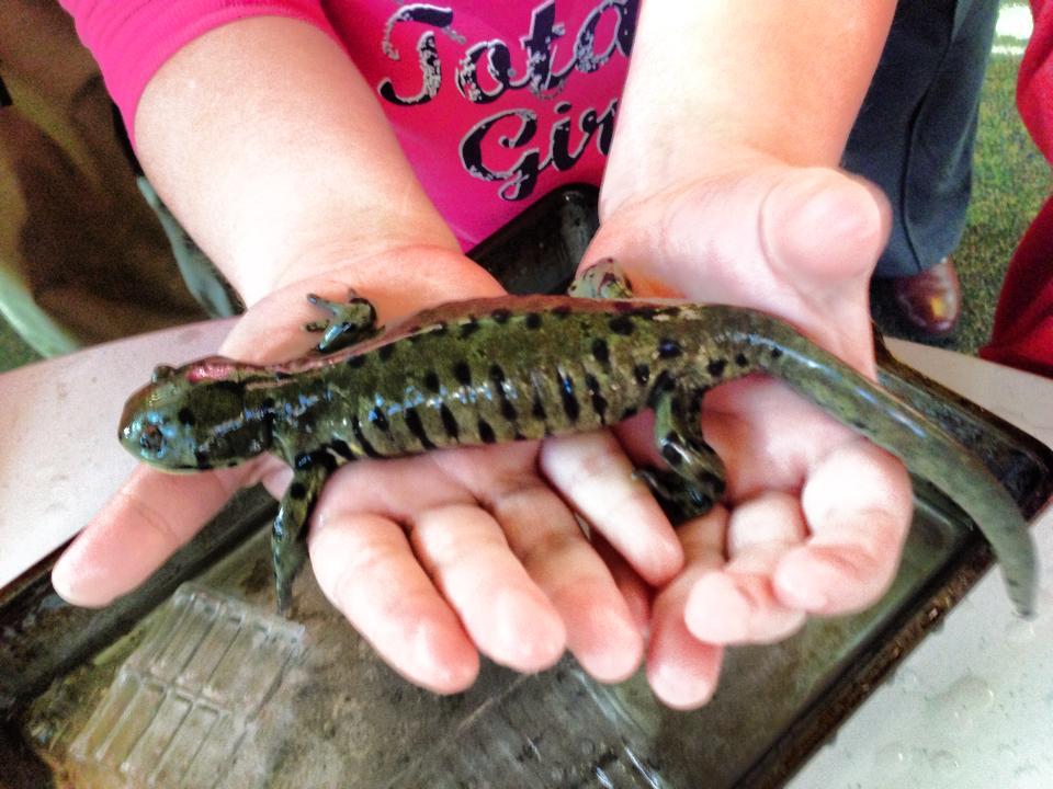 salamander festival christie dedman
