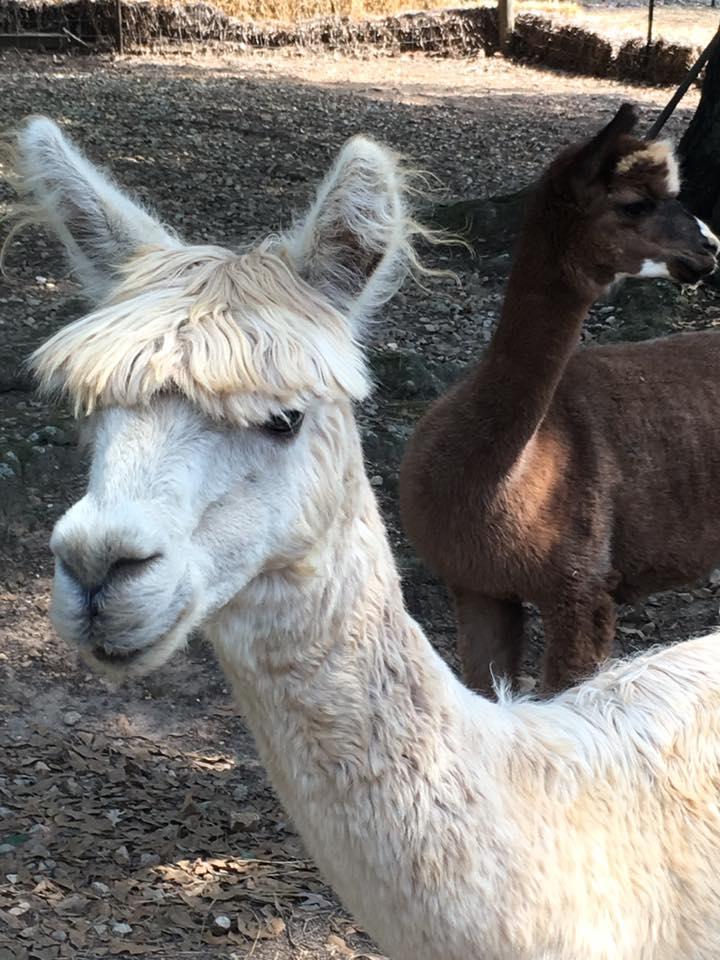 alpaca christie dedman