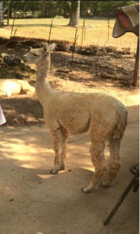 alpaca farm christie dedman