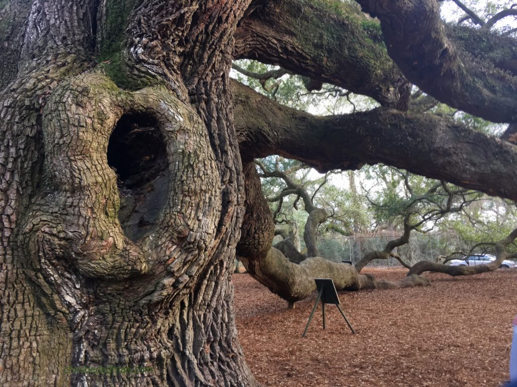 angel oak tree 2 christie dedman