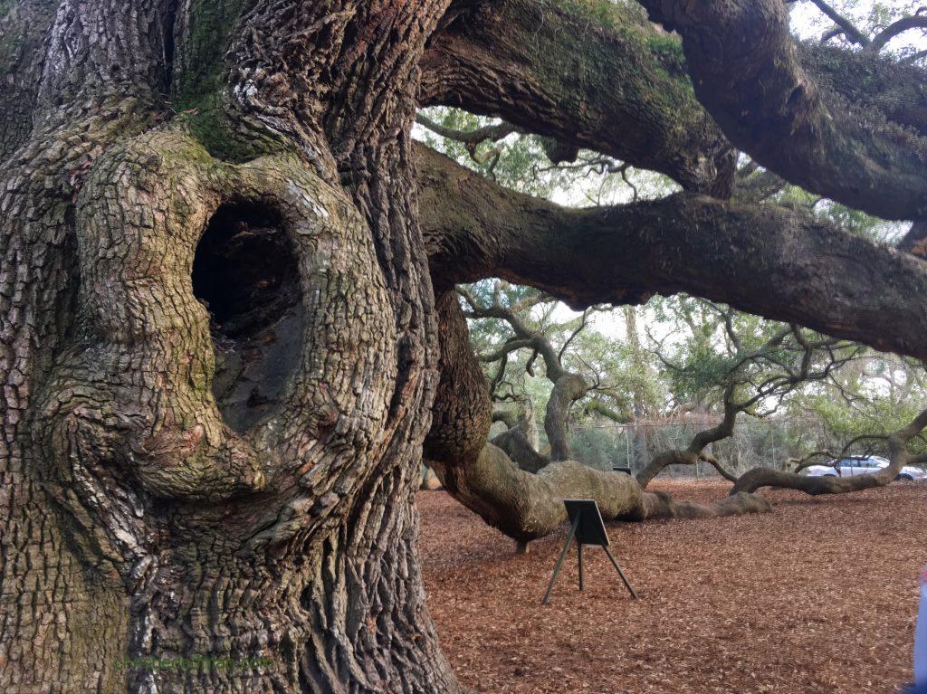 angel oak tree 2 christie dedman