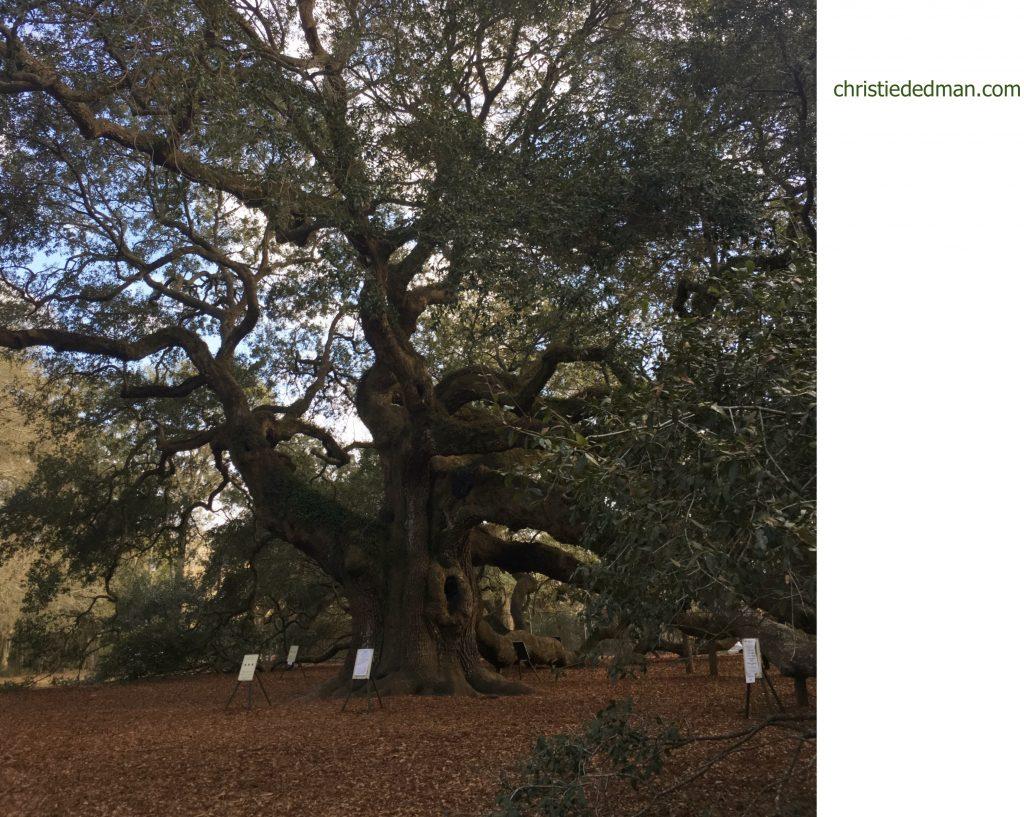 angel oak tree 4 christie dedman