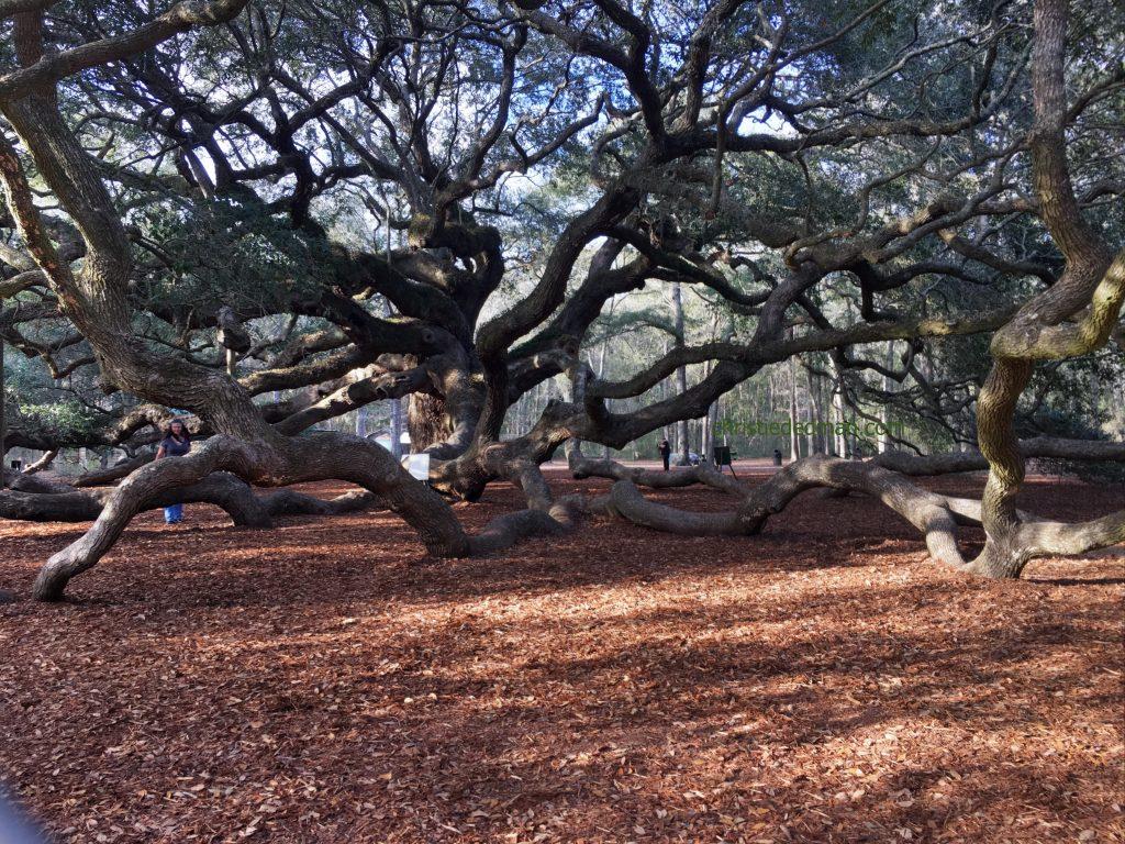 angel oak tree christie dedman 5
